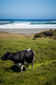 Another moo with a view. Lucky cows on this island.
