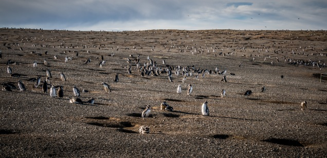 The hills are alive with the sound of penguins squawking.