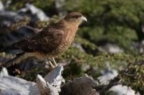A mountain bird