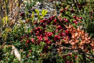 Calafate Berries. The legend says that if you eat them, you will surely return to Patagonia.